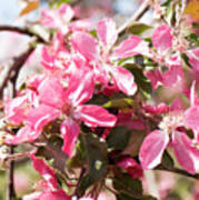 Pink Cherry Tree Poster