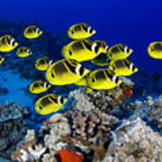 Racoon Butterflyfish Poster