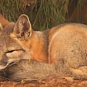 San Joaquin Kit Fox  Poster
