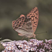 Tramonti Butterfly Poster