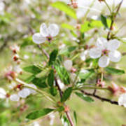 White Cherry Flower Poster