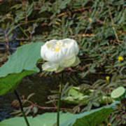 White Lotus Flower Flower Lotus Nature Summer Green Plant Blossom Asian Poster