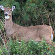 White Tailed Deer Calverton New York Poster