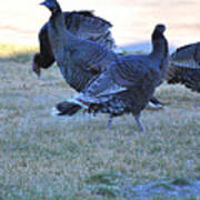 Wild Turkeys. Poster