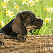 Wire-haired Dachshund Puppy Poster