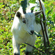 Young Goat On A Farm Poster
