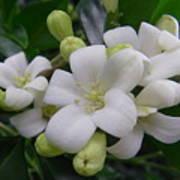 Australia - Gardenia White Flowers Poster