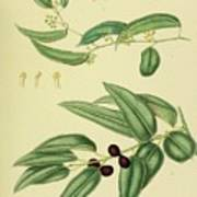Vintage Botanical Illustration Poster