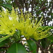 Australia - Pollinating A Green Leionema Flower Poster