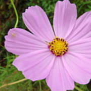 Australia - Mauve Flowers Poster
