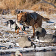 Duck And Goose Hunting Stock Photo Image Poster