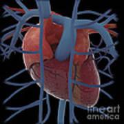 3d Rendering Of Human Heart Poster
