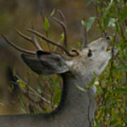 3x3 Buck Mule Deer-signed-#9716 Poster