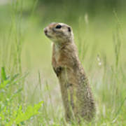 A European Ground Squirrel Standing In A Meadow In Spring Poster
