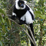 Black And White Ruffed Lemur Poster