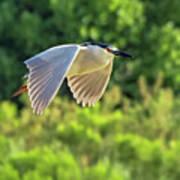 Black-crowned Night Heron Poster