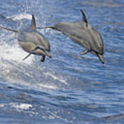 Dolphins Leaping Poster