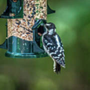 Downy Woodpecker In The Wild Poster