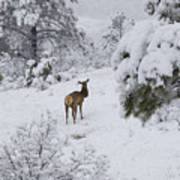 Elk In Deep Snow In The Pike National Forest Poster