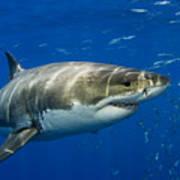 Great White Shark Poster
