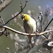 Img_0001 - American Goldfinch Poster