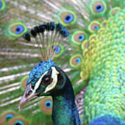 Indian Blue Peacock Poster