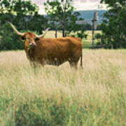 Longhorn Cow In The Paddock Poster