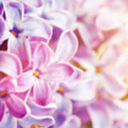 Purple Spring Lilac Flowers Blooming Close-up Poster