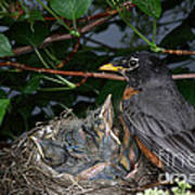 Robin Feeding Its Young Poster