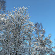 Snowy Trees Against A Blue Sky Poster