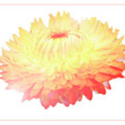 Strawflower Poster