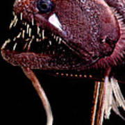 Threadfin Dragonfish Poster
