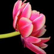Tulip  Macro Poster