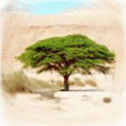 Umbrella Thorn Acacia Acacia Tortilis, Negev Israel Poster