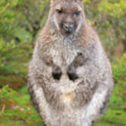Wallaby Outside By Itself Poster