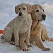 Yellow Labradors Poster