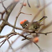 4369 - Ruby-crowned Kinglet Poster