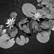 4425- Lily Pad Black And White Poster