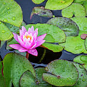 4434- Lily Pads Poster