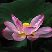 Blossoming Lotus Flower Closeup Poster