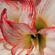 Amaryllidaceae Hippeastrum Amorice Poster
