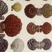 Aquatic Animals - Seafood - Shells - Mussels Poster