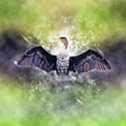 Cormorant Dries Its Wings Poster