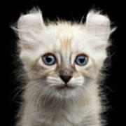 Cute American Curl Kitten With Twisted Ears Isolated Black Background Poster