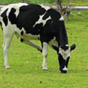 Holstein Cow On A Farm Poster