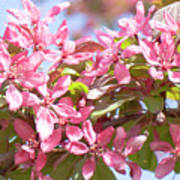 Pink Cherry Flowers Poster