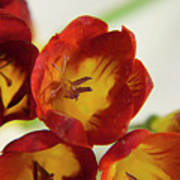Red Freesia Poster