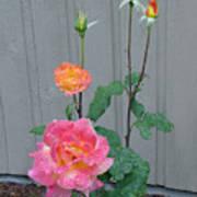 5 Roses In Rain Poster