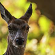 Stunning Hind Doe Red Deer Cervus Elaphus In Dappled Sunlight Fo Poster