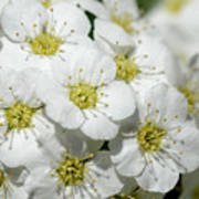White Spiraea Flower Poster